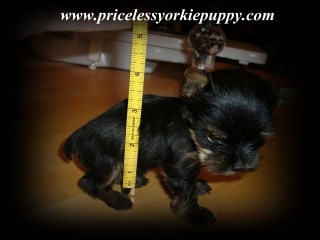 Teacup yorkie weight chart, Yorkie Growth Chart, Yorkshire puppy weight chart, Yorkshire growth chart, Pricless Yorkie Puppy TeacupYorkie puppies for sale in Michigan