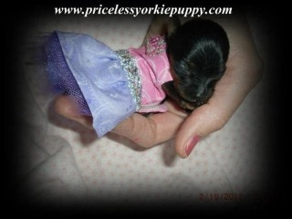 Michigan Yorkshire Terrier Puppy Breeder Specializing In Teacup Yorkie Puppies For Sale.