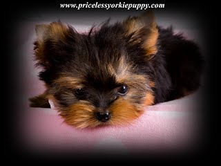 Michigan Teacup Yorkie Puppy