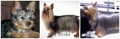 Silky Terrier Comparison (1500 x 500)