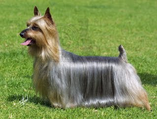 Silky Terrier Comparison adult