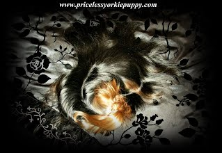 free yorkie puppies for adoption,free teacup yorkie, cheap teacup yorkie, cheap yorkie puppies, cheap yorkie sale, cheap small dogs