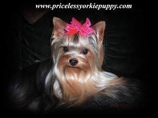 yorkies best quality micro dog breeds picture