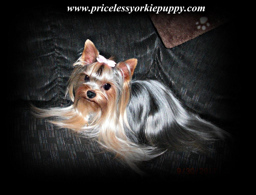 cheap yorkshire terrier puppies for sale in michigan dogs in our life photo blog