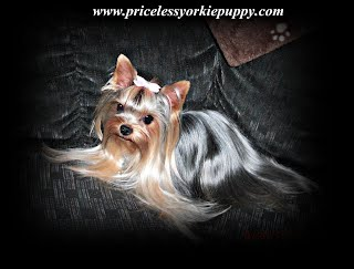 Why Are Yorkies So Expensive Priceless Yorkie Puppy