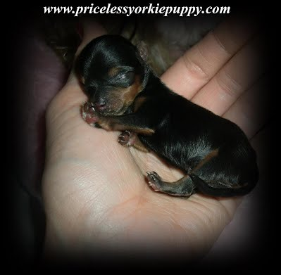 ANGEL FACE YORKIES, AKC, YORKIES, YORKSHIRE TERRIERS, DOLL FACE , BABYDOLL FACE, EXTREME, EXTREME BABYDOLL, COBBY BODY, SHORT FACE, SHORT COBBY LEGS, SILKY HAIR, PUPPIES FOR SALE, AKC YORKIES FOR SALE, AKC YORKIE, AKC YORKIES, CHAMPION BLOODLINES, SHOW QUALITY, EXCLUSIVE YORKIES, TEACUP YORKIES, MI YORKIES, YORKIES FOR SALE IN MICHIGAN, STARLIGHT YORKIES, STARLIGHTS YORKIES, APPLEHEAD YORKIES, BABY FACE YORKIES, MICRO TINY YORKIES, MICRO TEACUP YORKIES, EXQUISITE YORKIES, BABY DOLL FACE YORKIES, PRECIOUS YORKIES