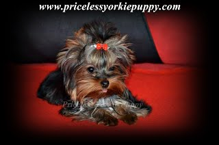 Puppy Adoption Application - Priceless Yorkie Puppy