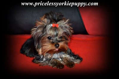 "Shakira Teacup Yorkie Puppy Michigan Yorkshire Breeder, Tea Cup Yorkies for sale, and Tiny Yorkies for sale, Yorkie pups, Yorkie pup, yorkies for sale, baby doll face yorkie puppies, yorkie  breeder, teacup yorkie puppies for sale, yorkys, US, akc  Yorkies, teacups, t-cups, toys, petite, MI ,champion bloodline, baby doll face, teacup Yorkie puppy for sale, Teacup yorkie puppies, yorkie puppy for sale  and teacup yorkie puppies for sale, Teacup Yorkies, yorkies for sale MI, Yorkshire Terrier Puppies, Beautiful Teacup puppies, Babydoll face Yorkies, Applehead puppies, Yorkie short cobby bodies, baby doll faced, babydoll faced, babydoll puppies, Tanisha Breton Yorkie Breeder, ""Tanisha Breton"" , ""517-796-0259"","