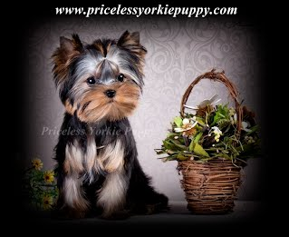 Teacup yorkie Michigan, Teacup yorkie for sale, Teacup yorkies for sale, teacup puppies for sale, Michigan dog breeder, dog breeder, Yorkie breeder, Yorkshire Terrier breeder, AKC yorkies, AKC yorkie, AKC Yorkshire, AKC Yorkies for sale, Quality yorkies for sale, Champion yorkies for sale, Michigan, Puppy, Puppies, Yorkie, Yorkshire, Yorkies, t-cup
