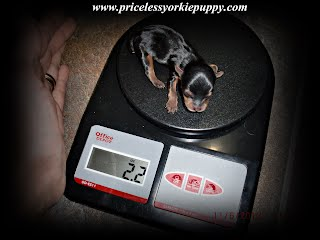 Yorkie Weight Chart Priceless Yorkie Puppy