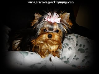 Michigan, MI, yorkie, yorkies, yorkshire terriers, yorkshire terrier, yorkie puppy, yorkie puppies, yorkie breeder, yorkie breeders, yorkies for sale, yorkie for sale, yorkshire terriers for sale, yorkshire terrier for sale, yorkie puppies for sale, yorkie puppy for sale, yorkshire terrier puppy for sale, yorkshire terrier puppies for sale, Michigan yorkie, Michigan yorkies, Michigan yorkshire terriers, Michigan yorkshire terrier, Michigan yorkie puppy, Michigan yorkie puppies, Michigan yorkie breeder, Michigan yorkie breeders, Michigan yorkies for sale, Michigan yorkie for sale, Michigan yorkshire terriers for sale, Michigan yorkshire terrier for sale, Michigan yorkie puppies for sale, Michigan yorkie puppy for sale, Michigan yorkshire terrier puppy for sale, Michigan yorkshire terrier puppies for sale, Yorkie Puppies For Sale, Yorkshire Terrier Breeders, Yorkshire Terrier Puppies for Sale,  Yorkshire Terrier Puppies, Yorkshire Terrier puppies for sale, Yorkshire Terrier dogs for adoption and Yorkshire Terrier dog breeders, Yorkshire Terrier puppies for sale and dogs for adoption, Yorkie Puppies Sale, Teacup Yorkies, Yorkies For Sale, Puppies For sale, AKC Yorkshire Terrier Puppies for sale, AKC Teacup Yorkie, yorkie breeder, Yorkshire Breeder, Yorkshire Terrier Dog Breeders, Teacup Yorkie Puppies, Yorkshire Terrier For Sale in Jackson, Michigan, Michigan Breeder,