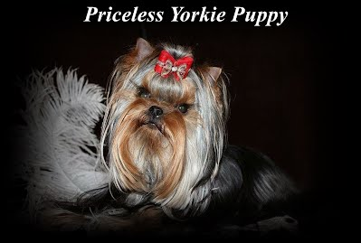 Michigan Yorkie Puppies, Michigan Yorkie Breeder, Michigan Yorkies, Michigan