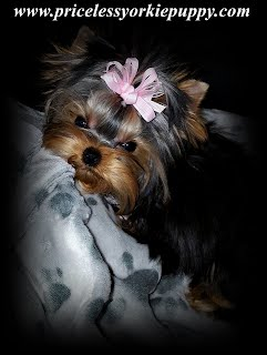 Priceless Yorkie Puppy