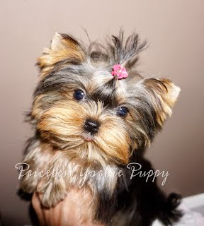 Yorkie Michigan, Yorkies Michigan, Puppy Michigan, Puppies Michigan, Michigan, Yorkie For Sale, Yorkies For Sale, Puppies For Sale Michigan
