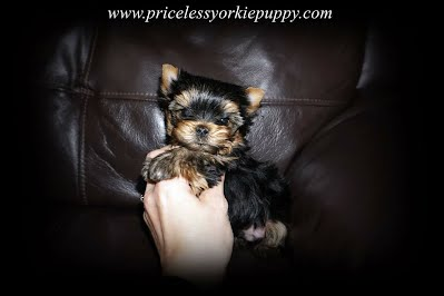 Teacup Yorkie puppy, teacup puppy, teacup puppies, Yorkie breeder, Michigan Yorkie, Michigan yorkies, Michigan puppies
