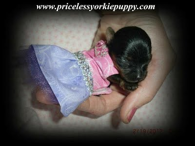 "Puppies for sale, Yorkie Puppy, Yorkie puppies, Yorkie For Sale, Puppy For Sale, cheap puppy, cheap puppies, cheap Yorkie, cheap yorkies, teacup Yorkie, teacup yorkies, Tea Cup Yorkies for sale, and Tiny Yorkies for sale, Yorkie pups, Yorkie pup, yorkies for sale, baby doll face yorkie puppies, yorkie  breeder, teacup yorkie puppies for sale, yorkys, US, akc  Yorkies, teacups, t-cups, toys, petite, MI ,champion bloodline, baby doll face, teacup Yorkie puppy for sale, Teacup yorkie puppies, yorkie puppy for sale  and teacup yorkie puppies for sale, Teacup Yorkies, yorkies for sale MI, Yorkshire Terrier Puppies, Beautiful Teacup puppies, Babydoll face Yorkies, Applehead puppies, Yorkie short cobby bodies, baby doll faced, babydoll faced, babydoll puppies, tanishabreton, 517-796-0259, 517-945-3291, Michigan Yorkies Tanisha Breton, Yorkshire Terrier For Sale in Michigan, Yorkshire Terrier Dog Breeder Michigan, Yorkie, Dog, Yorkshire Terriers in Michigan, Teacup Yorkie Puppies, Yorkies Puppy Breeder, Michigan Yorkies, Puppy Breeder MI, Yorkshire Terriers for Sale in Michigan, Yorkies for sale in Michigan, Yorkshire Terrier Puppies for Sale in Michigan, Yorkie Puppies for Sale, Yorkies For Sale‎, Teacup Yorkie Puppies, Yorkshire Terrier breeder located in Michigan, yorkie puppies, American Kennel Club, AKC, Yorkshire Terrier Dog Breeders, yorkie-breeders, Tanisha Breton Yorkie Breeder, ""Tanisha Breton"" , ""517-796-0259"","