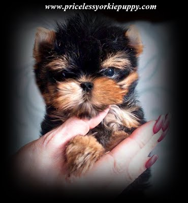 "Michigan, Yorkie, Puppy, breeder, yorkie breeder, teacup yorkie puppy, teacup yorkies, akc yorkie pup, akc, teacup, yorkie pup,  yorkies, yorkie puppies, yorkshire terrier, yorkshire terriers,  yorkie puppies for sale, teacup yorkie puppies, yorkie-breeders, Michigan, MI, yorkie, yorkies, Yorkshire terriers, Yorkshire terrier, yorkie puppy, yorkie puppies, yorkie breeder, yorkie breeders, yorkies for sale, yorkie for sale, Yorkshire terriers for sale, Yorkshire terrier for sale, yorkie puppies for sale, yorkie puppy for sale, Yorkshire terrier puppy for sale, Yorkshire terrier puppies for sale, Yorkshire Terrier Breeders, Yorkshire Terrier Puppies for Sale, Yorkshire Terrier Puppies, Yorkshire Terrier puppies for sale, Yorkshire Terrier dogs for adoption and Yorkshire Terrier dog breeders, Yorkshire Terrier puppies for sale and dogs for adoption, Yorkie Puppies Sale, Teacup Yorkies, Yorkies For Sale, Puppies For sale, AKC Yorkshire Terrier Puppies for sale, AKC Teacup Yorkie, yorkie breeder, Yorkshire Breeder, Yorkshire Terrier Dog Breeders, Teacup Yorkie Puppies, Yorkshire Terrier For Sale in Jackson, Michigan, Michigan Breeder, Michigan Tiny Yorkies is your place to find the most amazing Yorkies for sale, Tea Cup Yorkies for sale, and Tiny Yorkies for sale, Yorkie pups, Yorkie pup, yorkies for sale, baby doll face yorkie puppies, yorkie  breeder, teacup yorkie puppies for sale, yorkys, US, akc  Yorkies, teacups, t-cups, toys, petite, MI ,champion bloodline, baby doll face, teacup Yorkie puppy for sale, Teacup yorkie puppies, yorkie puppy for sale  and teacup yorkie puppies for sale, Teacup Yorkies, yorkies for sale MI, Yorkshire Terrier Puppies, Beautiful Teacup puppies, Babydoll face Yorkies, Applehead puppies, Yorkie short cobby bodies, baby doll faced, babydoll faced, babydoll puppies, Tanisha Breton Yorkie Breeder, ""Tanisha Breton"" , ""517-796-0259"",Teacup Yorkie Puppies, Teacup Yorkie Puppies for Sale, Yorkshire Terrier Puppies, Yorkshire Terrier Puppies for Sale, yorkie, yorkies, yorkie puppies for sale, yorkie puppies, yorkie puppy, yorkie breeder, yorkie breeders, Tanisha Breton, Michigan Yorkie Michigan Yorkie Breeder tanisha breton, tanishabreton, 517-796-0259, 517-945-3291, Michigan Yorkies Tanisha Breton, Yorkshire Terrier For Sale in Michigan, Yorkshire Terrier Dog Breeder Michigan, Yorkie, Dog, Yorkshire Terriers in Michigan, Teacup Yorkie Puppies, Yorkies Puppy Breeder, Michigan Yorkies, Puppy Breeder MI, Yorkshire Terriers for Sale in Michigan, Teacup Yorkie Puppies, Teacup Yorkie Puppies for Sale, Yorkshire Terrier Puppies, Yorkshire Terrier Puppies for Sale, yorkie, yorkies, yorkie puppies for sale, yorkie puppies, yorkie puppy, yorkie breeder, yorkie breeders, Tanisha Breton, Michigan Yorkie Michigan Yorkie Breeder tanisha breton, tanishabreton, 517-796-0259, 517-945-3291, Michigan Yorkies Tanisha Breton, Yorkshire Terrier For Sale in Michigan, Yorkshire Terrier Dog Breeder Michigan, Yorkie, Dog, Yorkshire Terriers in Michigan, Teacup Yorkie Puppies, Yorkies Puppy Breeder, Michigan Yorkies, Puppy Breeder MI, Yorkshire Terriers for Sale in Michigan,Michigan yorkie, Michigan yorkies, Michigan yorkshire terriers, Michigan yorkshire terrier, Michigan yorkie puppy, Michigan yorkie puppies, Michigan yorkie breeder, Michigan yorkie breeders, Michigan yorkies for sale, Michigan yorkie for sale, Michigan yorkshire terriers for sale, Michigan yorkshire terrier for sale, Michigan yorkie puppies for sale, Michigan yorkie puppy for sale, Michigan yorkshire terrier puppy for sale, Michigan yorkshire terrier puppies for sale, Yorkie Puppies For Sale, tiny teacup yorkie puppies for sale in Michigan, Yorkshire terrier for sale in Michigan, little yorkie, yorkie breeders Michigan, Yorkie breeder MI, Yorkies for sale MI, Yorkshire terrier for sale MI, Yorkie MI, Yorkies MI, Yorkshire MI, Puppies MI, Puppy's MI, Puppy MI, Yorkie terrier, babydoll yorkies, babydoll yorkie, baby doll face yorkies, yorkie breeder, baby yorkies, yorkies puppies, yorkie teacup puppies for sale, yorkie dogs, yorkie dog, Yorkshire puppies, yorkie puppies Michigan, Yorkie puppies Jackson Michigan, sale dog, sale yorkie, dogs sale, dog for sale, dogs for sale, toy puppies, toy breeder puppies, small breed puppies, toy breed puppies, teddy bear puppies ,"