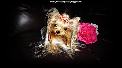 yorkie puppies, yorkie, yorkie dog, dog, dogs, yorkie puppy, yorkie puppies for sale, for sale, tea cup yorkie, teacup yorkie puppies, yorkie teacup, yorkie dogs, baby yorkie, mini yorkie, micro yorkie, cute yorkie,