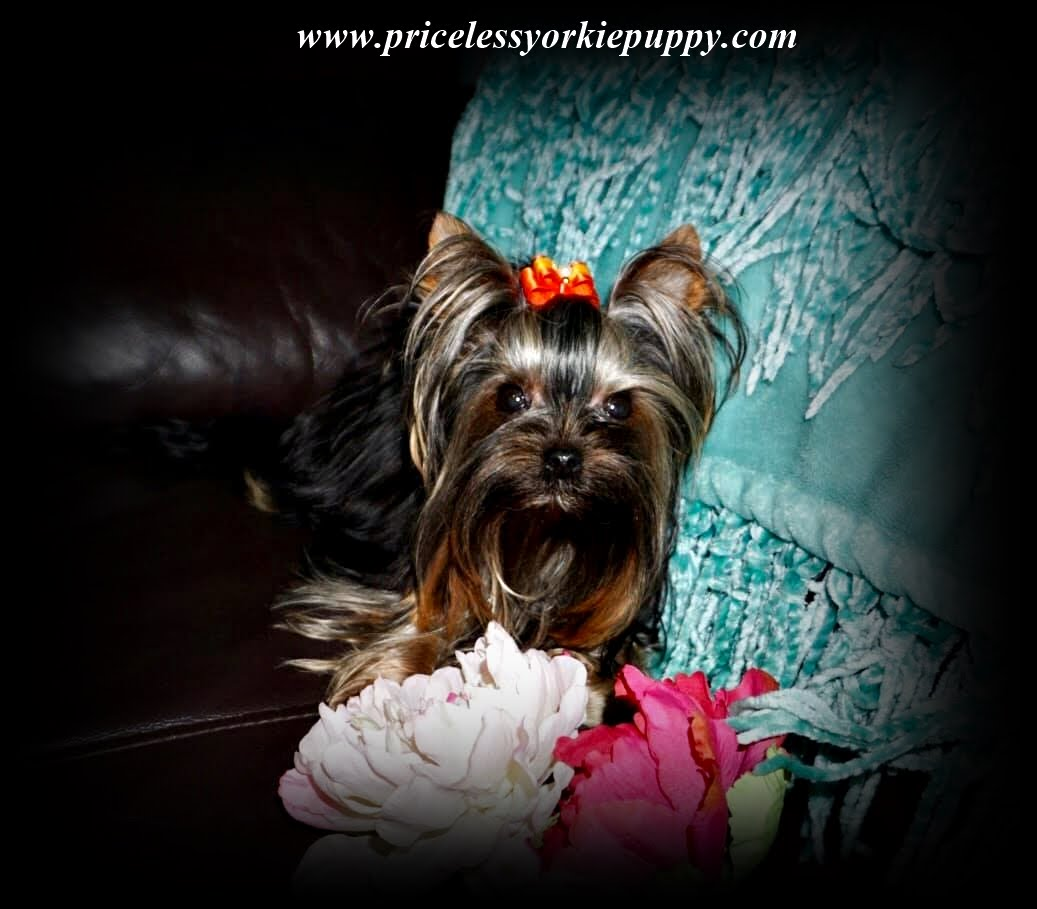 Tea Cup Yorkies for sale, and Tiny Yorkies for sale, Yorkie pups, Yorkie pup, yorkies for sale, baby doll face yorkie puppies, yorkie  breeder, teacup yorkie puppies for sale, yorkys, US, akc  Yorkies, teacups, t-cups, toys, petite, MI ,champion bloodline, baby doll face, teacup Yorkie puppy for sale, Teacup yorkie puppies, yorkie puppy for sale  and teacup yorkie puppies for sale, Teacup Yorkies, yorkies for sale MI, Yorkshire Terrrier Puppies, Beautiful Teacup puppies, Babydoll face Yorkies, Applehead puppies, Yorkie short cobby bodies, baby doll faced, babydoll faced, babydoll puppies