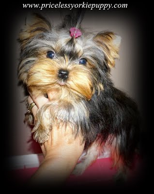 AKC, American Kennel Club, Teddy Bear, Babydoll, Baby doll, tiny, teacup, micro, toy, yorkies, yorkie, puppy, puppies, yorkie breeder, Michigan Yorkie Breeder, Michigan Yorkie, Michigan Yorkies, Michigan Yorkshire, Michigan Puppy, Extreme babydoll faced yorkies, Teacup Puppies, Teacup Yorkies, Teacup Female, Teacup Girl, Teacup Yorkies, teacup yorkies for sale, teacup Yorkshire terriers for sale, teacup yorkie puppies for sale, teacup Yorkshire terrier puppies for sale, teacup yorkies, teacup yorkshire terriers, miniature yorkies, mini yorkies, tiny yorkies, micro yorkies, yorkies, yorkshire terriers, puppies, yorkie, yorkie puppy, yorkie puppies, yorkies for sale, teacup yorkies for sale, Michigan, MI, yorkie puppies Michigan, teacup yorkies Michigan, teacup yorkie, teacup, teacup yorkies Jackson, Michigan, Yorkie puppies and Teacup Yorkies, TeaCups, Yorkshire Terrier For Sale in Michigan, Yorkshire Terrier Dog Breeder Michigan, Yorkie, Dog