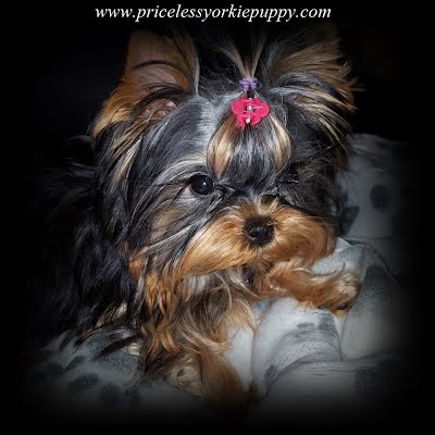 Teacup Yorkie Puppies, Teacup Yorkie Puppies for Sale, Yorkshire Terrier Puppies, Yorkshire Terrier Puppies for Sale, yorkie, yorkies, yorkie puppies for sale, yorkie puppies, yorkie puppy, yorkie breeder, yorkie breeders, Tanisha Breton, Michigan Yorkie Michigan Yorkie Breeder tanisha breton, tanishabreton, 517-796-0259, 517-945-3291, Michigan Yorkies Tanisha Breton, Yorkshire Terrier For Sale in Michigan, Yorkshire Terrier Dog Breeder Michigan, Yorkie, Dog, Yorkshire Terriers in Michigan, Teacup Yorkie Puppies, Yorkies Puppy Breeder, Michigan Yorkies, Puppy Breeder MI, Yorkshire Terriers for Sale in Michigan, Yorkies for sale in Michigan, Yorkshire Terrier Puppies for Sale in Michigan, Yorkie Puppies for Sale, Yorkies For Sale‎, Teacup Yorkie Puppies, Yorkshire Terrier breeder located in Michigan, yorkie puppies, American Kennel Club, AKC, Yorkshire Terrier Dog Breeders, yorkie-breeders