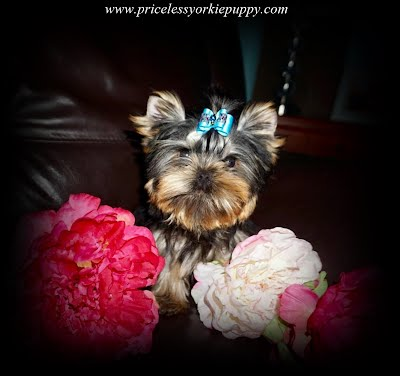 Yorkshire Terriers in Michigan, Teacup Yorkie Puppies, Yorkies Puppy Breeder, Michigan Yorkies, Puppy Breeder MI, Yorkshire Terriers for Sale in Michigan, Yorkies for sale in Michigan, Yorkshire Terrier Puppies for Sale in Michigan, Yorkie Puppies for Sale, Yorkies For Sale‎, Teacup Yorkie Puppies, Yorkshire Terrier breeder located in Michigan, yorkie puppies, American Kennel Club, AKC, Yorkshire Terrier Dog Breeders, yorkie-breeders, Michigan, MI, yorkie, yorkies, Yorkshire terriers, Yorkshire terrier, yorkie puppy, yorkie puppies, yorkie breeder, yorkie breeders, yorkies for sale, yorkie for sale, Yorkshire terriers for sale, Yorkshire terrier for sale, yorkie puppies for sale, yorkie puppy for sale, Yorkshire terrier puppy for sale, Yorkshire terrier puppies for sale