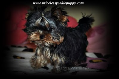 "Yorkie growth chart, yorkies near me, yorkie for sale Michigan, yorkie Michigan, Yorkie Breeders Michigan, yorkies teacup, teacup yorkie, teacup yorkies for sale, teacup yorkies, teacup york, yorkshire terrier price, yorkie puppy price, yorkie price, yorkie puppy growth chart, teacup yorkies for sale in Michigan, teacup puppies for sale in Michigan, yorkie Michigan, Yorkshire Michigan, Yorkshire terrier Michigan, Yorkie breeder, Yorkshire breeder, dogs, dog, pup, pups, puppy, puppies, toy yorkie breeders, tiny teacup yorkie puppies for sale in Michigan, Yorkshire terrier for sale in Michigan, little yorkie, yorkie breeders Michigan, Yorkie breeder MI, Yorkies for sale MI, Yorkshire terrier for sale MI, Yorkie MI, Yorkies MI, Yorkshire MI, Puppies MI, Puppy's MI, Puppy MI, Yorkie terrier, babydoll yorkies, babydoll yorkie, baby doll face yorkies, yorkie breeder, baby yorkies, yorkies puppies, yorkie teacup puppies for sale, yorkie dogs, yorkie dog, Yorkshire puppies, yorkie puppies Michigan, Yorkie puppies Jackson Michigan, sale dog, sale yorkie, dogs sale, dog for sale, dogs for sale, toy puppies, toy breeder puppies, small breed puppies, toy breed puppies, teddy bear puppies, Yorkshire Terriers in Michigan, Teacup Yorkie Puppies, Yorkies Puppy Breeder, Michigan Yorkies, Puppy Breeder MI, Yorkshire Terriers for Sale in Michigan, Yorkies for sale in Michigan, Yorkshire Terrier Puppies for Sale in Michigan, Yorkie Puppies for Sale, Yorkies For Sale‎, Teacup Yorkie Puppies, Yorkshire Terrier breeder located in Michigan, yorkie puppies, American Kennel Club, AKC, Yorkshire Terrier Dog Breeders, yorkie-breeders, Michigan, MI, yorkie, yorkies, Yorkshire terriers, Yorkshire terrier, yorkie puppy, yorkie puppies, yorkie breeder, yorkie breeders, yorkies for sale, yorkie for sale, Yorkshire terriers for sale, Yorkshire terrier for sale, yorkie puppies for sale, yorkie puppy for sale, Yorkshire terrier puppy for sale, Yorkshire terrier puppies for sale, Michigan yorkie, Michigan yorkies, Michigan yorkshire terriers, Michigan yorkshire terrier, Michigan yorkie puppy, Michigan yorkie puppies, Michigan yorkie breeder, Michigan yorkie breeders, Michigan yorkies for sale, Michigan yorkie for sale, Michigan yorkshire terriers for sale, Michigan yorkshire terrier for sale, Michigan yorkie puppies for sale, Michigan yorkie puppy for sale, Michigan yorkshire terrier puppy for sale, Michigan yorkshire terrier puppies for sale, Yorkie Puppies For Sale, Yorkshire Terrier Breeders, Yorkshire Terrier Puppies for Sale, Yorkshire Terrier Puppies, Yorkshire Terrier puppies for sale, Yorkshire Terrier dogs for adoption and Yorkshire Terrier dog breeders, Yorkshire Terrier puppies for sale and dogs for adoption, Yorkie Puppies Sale, Teacup Yorkies, Yorkies For Sale, Puppies For sale, AKC Yorkshire Terrier Puppies for sale, AKC Teacup Yorkie, yorkie breeder, Yorkshire Breeder, Yorkshire Terrier Dog Breeders, Teacup Yorkie Puppies, Yorkshire Terrier For Sale in Jackson, Michigan, Michigan Breeder, Michigan Tiny Yorkies is your place to find the most amazing Yorkies for sale, Tea Cup Yorkies for sale, and Tiny Yorkies for sale, Yorkie pups, Yorkie pup, yorkies for sale, baby doll face yorkie puppies, yorkie  breeder, teacup yorkie puppies for sale, yorkys, US, akc  Yorkies, teacups, t-cups, toys, petite, MI ,champion bloodline, baby doll face, teacup Yorkie puppy for sale, Teacup yorkie puppies, yorkie puppy for sale  and teacup yorkie puppies for sale, Teacup Yorkies, yorkies for sale MI, Yorkshire Terrier Puppies, Beautiful Teacup puppies, Babydoll face Yorkies, Applehead puppies, Yorkie short cobby bodies, baby doll faced, babydoll faced, babydoll puppies, Tanisha Breton Yorkie Breeder, ""Tanisha Breton"" , ""517-796-0259"", ""Yorkshire terrier mi"", ""tanisha"", ""pricelessyorkiepuppy.com"", ""jackson"", ""Michigan yorkie breeder"", ""Michigan yorkie meetup"", ""www.pricelessyorkiepuppy.com"", ""Tanisha Trine"", ""Tanisha Trine yorkies"", ""Tanisha yorkies"", ""Tanisha Breton yorkie"", ""Tanisha Breton yorkies"", ""Tanisha Breton yorkies"", ""Tanisha Breton breeder"", ""Tanisha Breton yorkies"", ""Tanisha Breton yorkies puppies"", ""Tanisha Breton yorkie puppy"", ""Tanisha Breton Jackson, Michigan"", Priceless Yorkie Puppy, Teacup Yorkie Puppies, Teacup Yorkie Puppies for Sale, Yorkshire Terrier Puppies, Yorkshire Terrier Puppies for Sale, yorkie, yorkies, yorkie puppies for sale, yorkie puppies, yorkie puppy, yorkie breeder, yorkie breeders, Tanisha Breton, Michigan Yorkie Michigan Yorkie Breeder tanisha breton, tanishabreton, 517-796-0259, 517-945-3291, Michigan Yorkies Tanisha Breton, Yorkshire Terrier For Sale in Michigan, Yorkshire Terrier Dog Breeder Michigan, Yorkie, Dog, Yorkshire Terriers in Michigan, Teacup Yorkie Puppies, Yorkies Puppy Breeder, Michigan Yorkies"