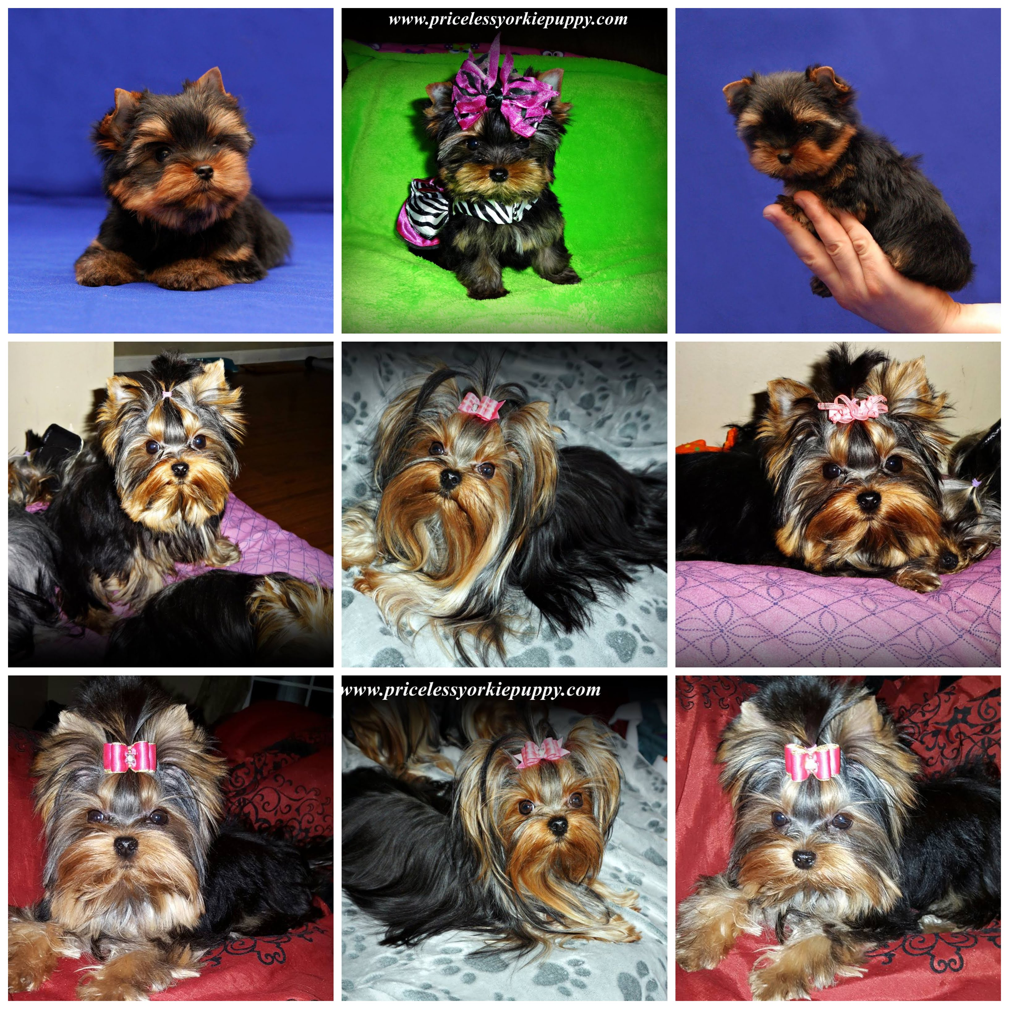 yorkie puppies for sale, yorkie puppies, yorkie puppy, yorkie breeder, yorkie breeders, Tanisha Breton, Michigan Yorkie Breeder tanisha breton, tanishabreton, 517-796-0259, 517-945-3291, Michigan Yorkies Tanisha Breton, Teacup Yorkies For Sale, Yorkie Puppies Sale, Yorkshire Terrier For Sale in Michigan, Yorkshire Terrier Dog Breeder Michigan, Yorkie, Dog, Yorkshire Terriers in Michigan, Teacup Yorkie Puppies, Yorkies Puppy Breeder, Michigan Yorkies, Puppy Breeder MI, Yorkshire Terriers for Sale in Michigan, Yorkies for sale in Michigan, Yorkshire Terrier Puppies for Sale in Michigan, Yorkie Puppies for Sale, Yorkies For Sale‎, Teacup Yorkie Puppies, Yorkshire Terrier breeder located in Michigan, yorkie puppies, American Kennel Club, AKC, Yorkshire Terrier Dog Breeders, yorkie-breeders, Yorkshire Terrier Breeders, Yorkshire Terrier Puppies for Sale, Yorkshire Terrier Puppies, Yorkshire Terrier puppies for sale, Yorkshire Terrier dogs for adoption and Yorkshire Terrier dog breeders, Yorkshire Terrier puppies for sale and dogs for adoption, Yorkie Puppies Sale, Teacup Yorkies, Yorkies For Sale, Puppies For sale, AKC Yorkshire Terrier Puppies for sale, AKC Teacup Yorkie, yorkie breeder, Yorkshire Breeder, Yorkshire Terrier Dog Breeders, Teacup Yorkie Puppies, Yorkshire Terrier For Sale in Jackson, Michigan, Michigan Breeder, Michigan Tiny Yorkies is your place to find the most amazing Yorkies for sale, Michigan yorkie, Michigan yorkies, Michigan yorkshire terriers, Michigan yorkshire terrier, Michigan yorkie puppy, Michigan yorkie puppies, Michigan yorkie breeder, Michigan yorkie breeders, Michigan yorkies for sale, Michigan yorkie for sale, Michigan yorkshire terriers for sale, Michigan yorkshire terrier for sale, Michigan yorkie puppies for sale, Michigan yorkie puppy for sale, Michigan yorkshire terrier puppy for sale, Michigan yorkshire terrier puppies for sale, Yorkie Puppies For Sale, Yorkie growth chart, yorkies near me, yorkie for sale Michigan, yorkie Michigan, Yorkie Breeders Michigan, yorkies teacup, teacup yorkie, teacup yorkies for sale, teacup yorkies, teacup york, yorkshire terrier price, yorkie puppy price, yorkie price, yorkie puppy growth chart, teacup yorkies for sale in Michigan, teacup puppies for sale in Michigan, yorkie Michigan, Yorkshire Michigan, Yorkshire terrier Michigan, Yorkie breeder, Yorkshire breeder, dogs, dog, pup, pups, puppy, puppies, toy yorkie breeders, AKC, American Kennel Club, Teddy Bear, Babydoll, Baby doll, tiny, teacup, micro, toy, yorkies, yorkie, puppy, puppies, yorkie breeder, Michigan Yorkie Breeder, Michigan Yorkie, Michigan Yorkies, Michigan Yorkshire, Michigan Puppy, Extreme babydoll faced yorkies, Teacup Puppies, Teacup Yorkies, Teacup Female, Teacup Girl, Teacup Yorkies, teacup yorkies for sale, teacup Yorkshire terriers for sale, teacup yorkie puppies for sale,