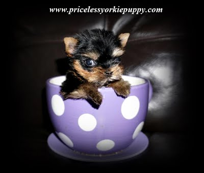 yorkie puppy, yorkie breeder, yorkie breeders, Tanisha Breton, Michigan Yorkie, Michigan Yorkie Breeder tanisha breton, tanishabreton, 517-796-0259, 517-945-3291, Michigan Yorkies Tanisha Breton, Yorkshire Terrier For Sale in Michigan, Yorkshire Terrier Dog Breeder Michigan, Yorkie, Dog, Yorkshire Terriers in Michigan, Teacup Yorkie Puppies, Yorkies Puppy Breeder, Michigan Yorkies, Puppy Breeder MI, Yorkshire Terriers for Sale in Michigan, tiny teacup yorkie puppies for sale in Michigan, Yorkshire terrier for sale in Michigan, little yorkie, yorkie breeders Michigan, Yorkie breeder MI, Yorkies for sale MI, Yorkshire terrier for sale MI, Yorkie MI, Yorkies MI, Yorkshire MI, Puppies MI, Puppy's,  MI, Puppy MI, Yorkie terrier, babydoll yorkies, babydoll yorkie, baby doll face yorkies, yorkie breeder, baby yorkies, yorkies puppies, yorkie teacup puppies for sale, yorkie dogs, yorkie dog, Yorkshire puppies, yorkie puppies Michigan, Yorkie puppies Jackson Michigan, sale dog, sale yorkie, dogs sale, dog for sale, dogs for sale, toy puppies, toy breeder puppies, small breed puppies, toy breed puppies, teddy bear puppies ,