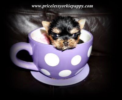 cute baby puppies, teacup yorkie, teacup dogs, teacup yorkie puppies, baby yorkies, teacup puppies for adoption, newborn teacup puppies, tea cup puppies, micro teacup puppies, newborn yorkie puppies, cute teacup puppies, baby teacup yorkies, teacup breeds, toy breeds, baby yorkie puppies, newborn teacup yorkies, cute baby teacup puppies, micro puppies, yorkie puppies, teacup yorkie, yorkshire terrier, yorkie terrier, puppies, small dogs, yorkie dogs, teacup yorkie puppies, cute puppies, cutest puppies, cute dogs, puppy dog, teacup puppies, puppies for adoption, puppies, cute yorkshire, dog breeds, teacup puppies, cute pups, yorkie, teacup yorkie, yorkie puppies, yorkie dog, yorkie terrier, yorkie puppy, yorkie puppies for sale, tea cup yorkie, teacup yorkie puppies, yorkie teacup, yorkie dogs, dog yorkie, mini yorkie, micro yorkie, baby yorkie, cute yorkie puppies, yorkshire terrier, yorkshire terrier breeder, yorkie breeder, yorkie dog breeder, dog breeder, yorkshire, yorkshire dog, yorkshire terrier puppy, yorkshire terrier, yorkshire terrier for sale, yorkshire terrier for sale, yorkshire terrier puppies for sale, yorkie puppies for sale, teacup yorkie for sale, dog, dog breeds, cute do, small dog breeds, dog adoption, yorkie adoption, puppy adoption, puppy, cute puppy, puppy for sale, puppy for sale near me, puppy for sale Michigan, Michigan, MI, Yorkie Michigan, Yorkie MI, Yorkshire Michigan, Yorkshire MI, Yorkshire terrier Michigan, Yorkshire Terrier MI, Jackson Michigan, Yorkie breeder, yorkshire breeder, yorkshire terrier breeder, dog breeder, yorkie breeder Michigan, Yorkshire terrier breeder Michigan, teacup yorkie, teacup yorkie breeder, dogs, dog, pup, puppy, puppies, puppy's, teacup yorkie puppies, yorkie teacup, teacup yorkie for sale, teacup yorkie puppies for sale, teacup yorkie puppies for free adoption, baby teacup yorkie, yorkie pictures